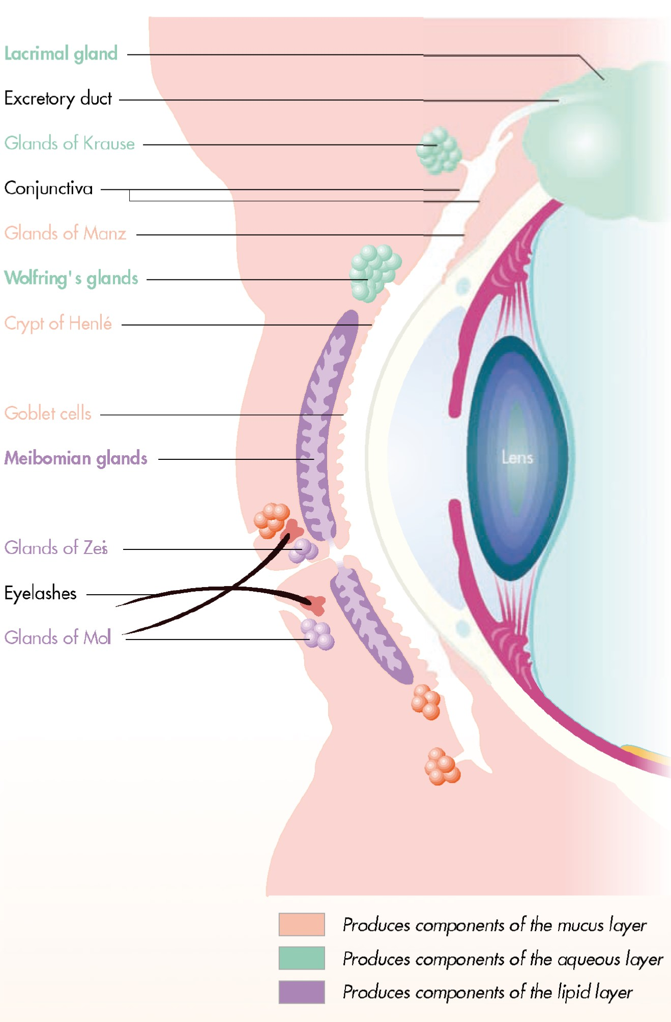 Glands of the eye