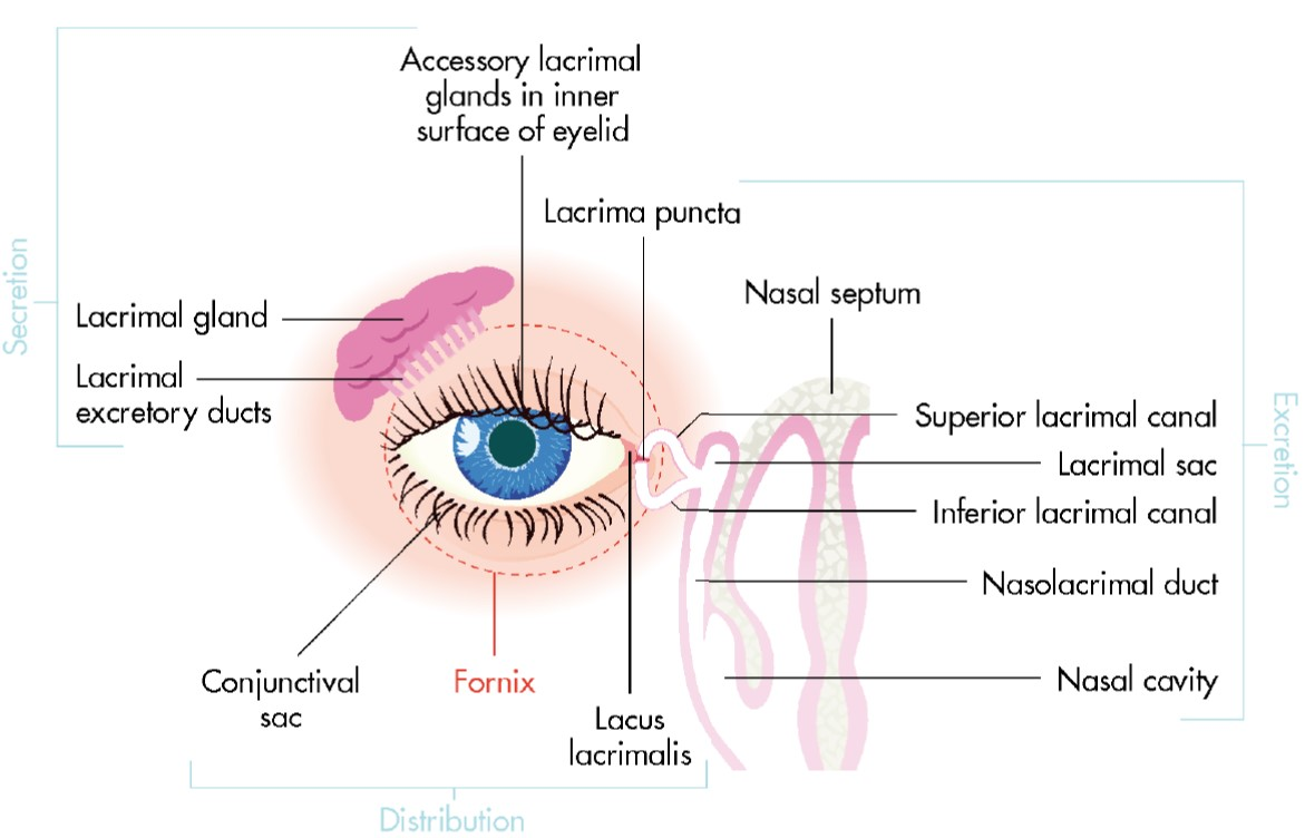 The lacrimal apparatus